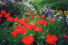 Homesteader Gardens - poppies
